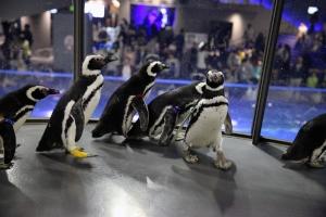 すみだ水族館は、4月26日から5月6日に、ペンギンたちが水槽の外に出て館内の一部を自由に行動する「すみだ水族館 ペンギンタイム」を開催する。