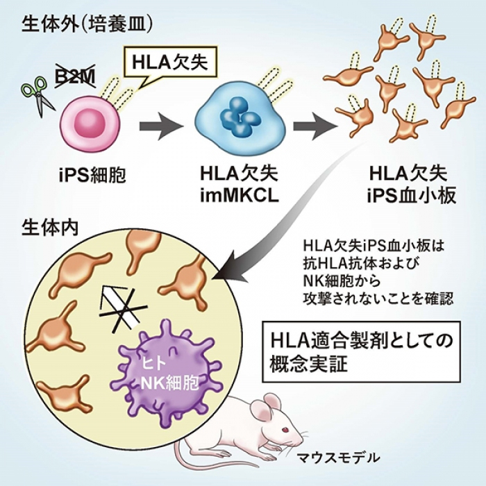 Photo of from iPS cells to everyone without restriction in blood transfusion when platelets create an industrial perspective to graduate school