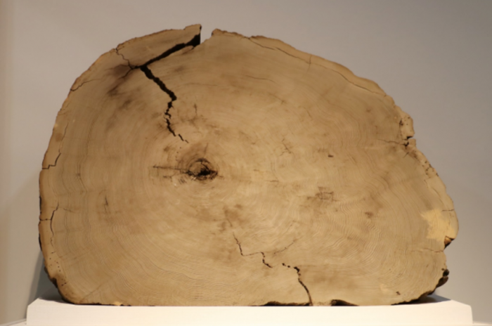Photo of Cedar tree rings from around 660 BC of the huge solar flare to unravel the Yamagata University, etc