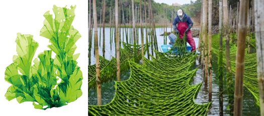 Photo of The new Corona also enabled the seaweed to the human corona virus growth inhibition of the effect Central large research