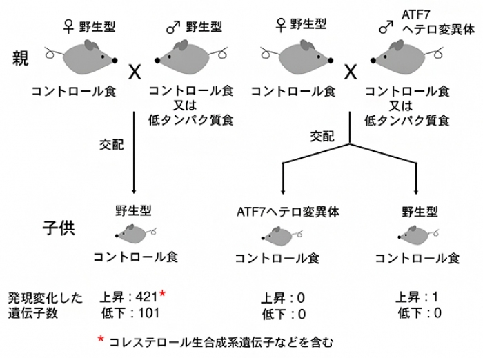 Photo of The father of the diet of the child lifestyle-related diseases develop that affect the mechanisms RIKEN, etc