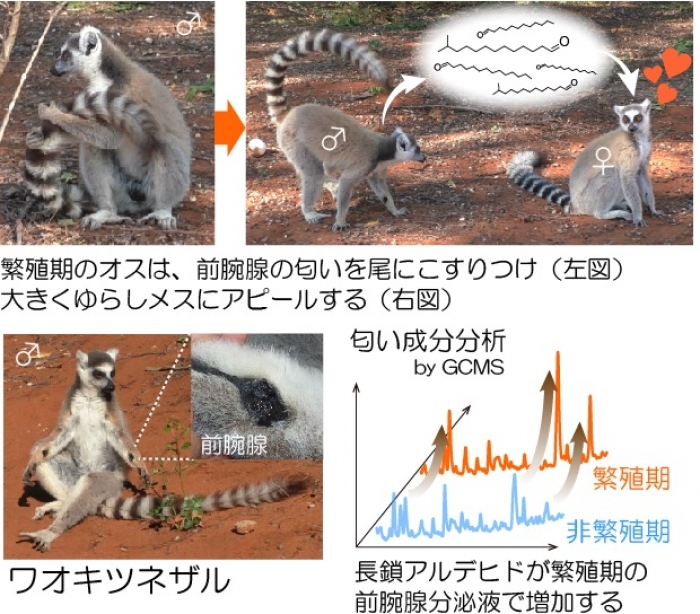 Photo of Primates is one pheromone substance for the first time a heterosexual attracted to the smell Univ. of Tokyo, etc