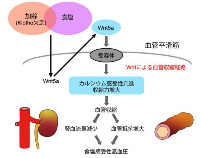 Photo of The elderly blood pressure the salt content of the diet is to elucidate the mechanism of the University of Tokyo Research