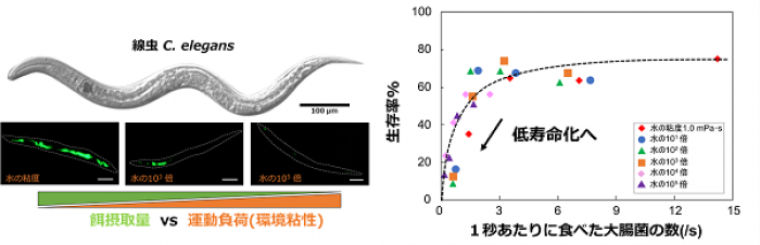 Photo of Excessive feeding limit life expectancy to fear that C. elegans short-lived trend discover, Tohoku Univ.