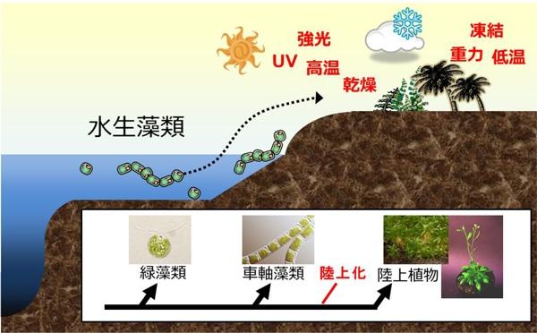 植物の陸上進出と車軸藻植物の関係を示した図。緑藻から車軸藻植物が進化し、車軸藻植物の中で厳しい陸上環境に適応した藻類が現在の陸上植物の起源となったと考えられている。(東京工業大学の発表資料より)
